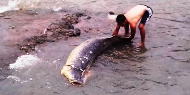 Inilah Ikan Raksasa dari Amazon yang Terdampar di Sungai Ciliwung Bogor