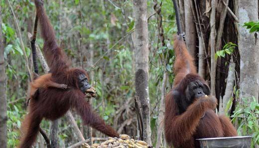 Warga Desa Ringin Batang Gansal Inhu Terkaget-kaget Lihat Orangutan Berkeliaran di Sekitar Mesjid dan Rumah Mereka