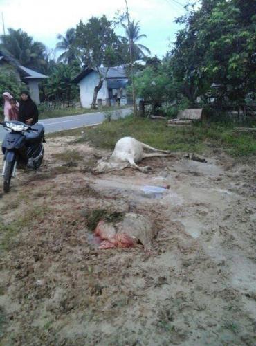 Pagi-pagi, Warga Pangean Kuansing Dihebohkan Penemuan Seekor Sapi Mati dan Satunya Lagi Hanya Tinggal Usus