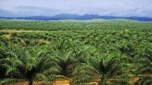 temuan-terbaru-hanya-08-juta-hektar-kebun-sawit-di-riau-yang-bisa-dikatakan-legal