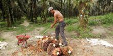 pemilik-kebun-sawit-perorangan-di-atas-25-hektar-tak-berbadan-hukum-bertabur-di-rohil-ada-yang