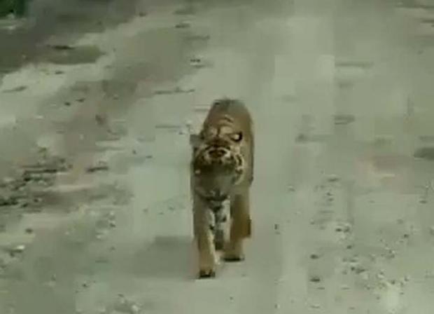 Harimau Sumatera Kembali Serang Manusia di Indragiri Hilir, Seorang Pekerja Bangunan Tewas