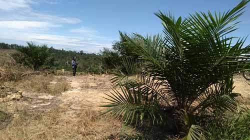 Diduga Libatkan Oknum Aparat, Ribuan Hektar Lahan Negara di Desa Segati Pelalawan Berubah Jadi Perkebunan Sawit