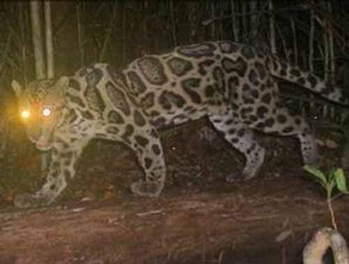 Hah! Usai Buaya, Giliran Macan Dahan Masuk ke Permukiman Warga Jalan Meranti Dumai