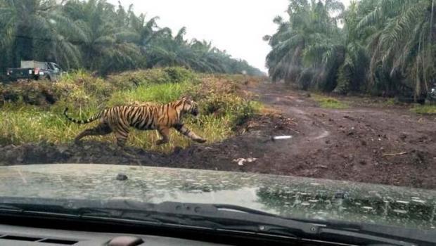 "Sudah 2 Bulan Siswa SD di Desa Tanjungsimpangkanan Inhil Diliburkan lantaran Harimau ""Bonita"" Masih Berkeliaran"