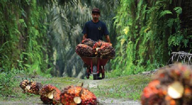 Karyawan Perkebunan Sawit PT THIP Indragiri Hilir Dihantui Ketakutan karena Khawatir Sewaktu-waktu Diserang Harimau Bonita