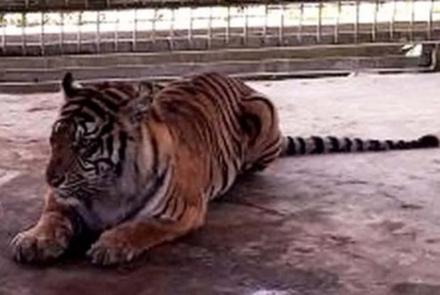 Harimau Bisa Simpan Dendam kepada Manusia Bukan Sebuah Mitos Lagi