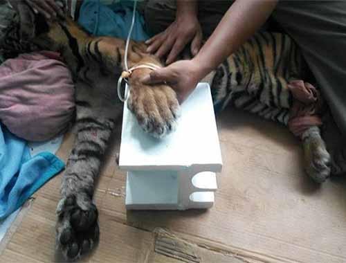 Kasihan, Anak Harimau Ditemukan dalam Kondisi Lemah di Desa Api Bukitbatu Bengkalis, Begini Keadaannya Sekarang
