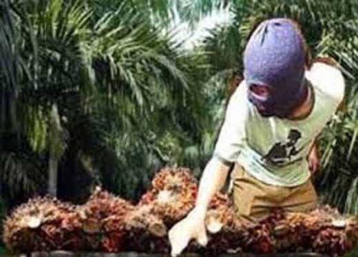 Dua Ibu Muda di Pelalawan Tertangkap saat Beraksi Jadi Ninja Sawit di Kebun PT Indosawit Subur