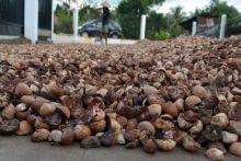 petani-bengkalis-bersukacita-harga-pinang-tembus-rp20-ribu-per-kilogram-alhamdulillah